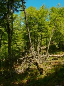 Una diferencia importantes entre bosques y parques: la presencia de madera muerta en los primeros, recurso imprescindible para los insectos xilófagos y los organismos que dependen de ellos. Un ejemplo: los pícidos. Monte L'Oso, Hermo, Cangas del Narcea