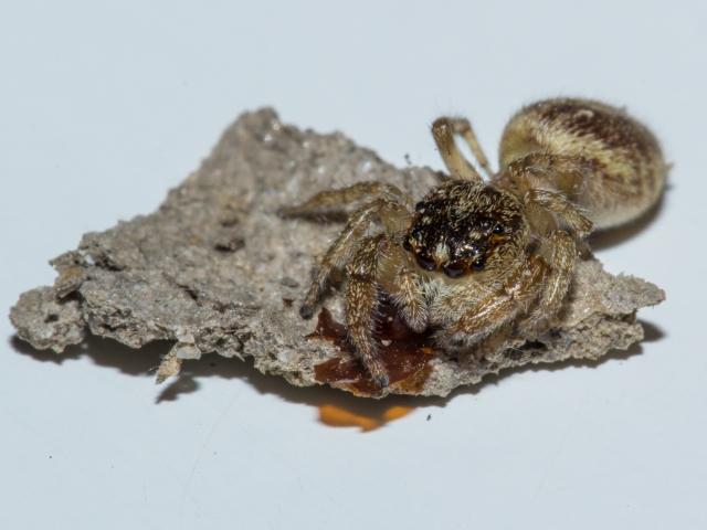 Salticido sobre un fragmento de celda de barro de S. curvatum. Se aprecian los restos anaranjados de la funda de la pupa.