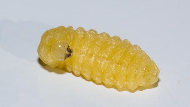 Larva de Sceliphron curvatum.