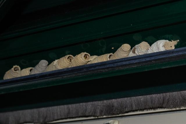 Celdas de barro de Sceliphron curvatum